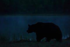 Orso che cammina alla notte Immagine Stock Libera da Diritti
