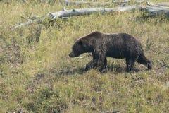 Orso che cammina nell'erba Fotografia Stock