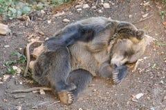Orso che dorme sotto un albero fotografia stock