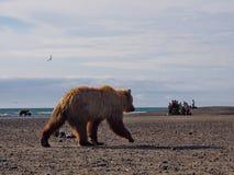 Orso che guarda nel parco nazionale di Katmai, Alaska fotografie stock