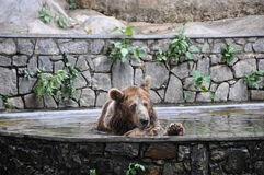 Orso che ha un bagno Fotografia Stock Libera da Diritti