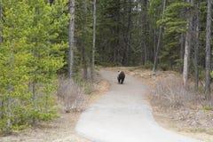 Orso che si imbatte in foresta Fotografia Stock