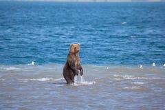 Orso che sta da pesca in acqua Riserva naturale di Kronotsky kamchatka La Russia fotografia stock libera da diritti