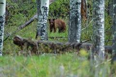 Orso in Colorado immagini stock