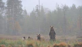 Orso con i cubs Fotografia Stock Libera da Diritti