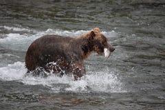 Orso con i salmoni Immagini Stock