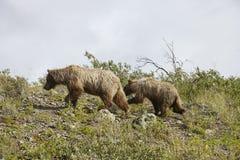 Orso con il cucciolo su Hillside nell'Alaska fotografie stock