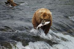 Orso con il salmone Fotografia Stock