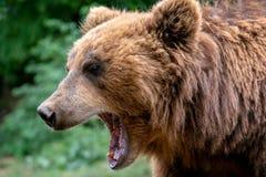 Orso con la museruola aperta Ritratto dell'orso marrone di kamchatka fotografie stock