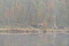Orso con le tazze in autunno Immagine Stock