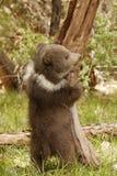 Orso Cub dell'orso grigio Fotografie Stock