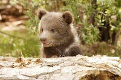 Orso Cub dell'orso grigio Immagine Stock Libera da Diritti