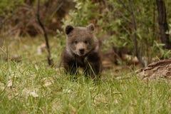 Orso Cub dell'orso grigio Immagine Stock
