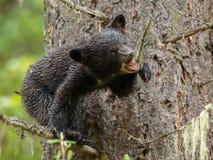 Orso Cub nero Fotografie Stock Libere da Diritti