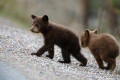 Orso Cub nero Immagini Stock Libere da Diritti