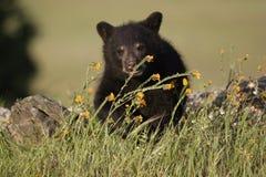 Orso Cub nero Fotografia Stock