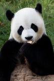 Orso del panda Fotografie Stock Libere da Diritti