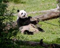 Orso del panda Immagini Stock