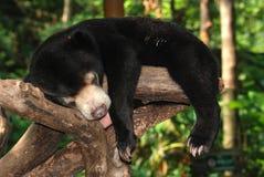Orso del sole di sonno immagini stock libere da diritti