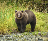 Orso dell'orso grigio Fotografie Stock
