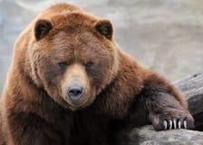 Orso dell'orso grigio Immagini Stock