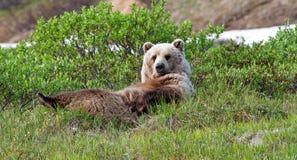 Orso dell'orso grigio Immagine Stock Libera da Diritti
