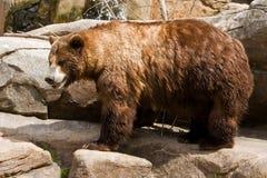 Orso dell'orso grigio Fotografia Stock