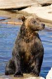 Orso dell'orso grigio che emerge dall'acqua Immagine Stock