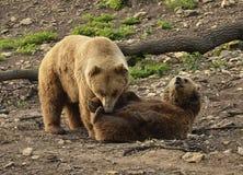 Orso dell'orso grigio che emerge dall'acqua Fotografia Stock