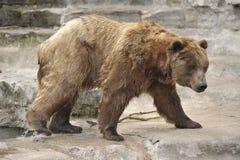 Orso dell'orso grigio che esce da acqua Immagine Stock Libera da Diritti