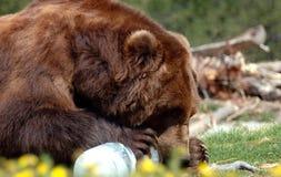 Orso dell'orso grigio che mastica sul ghiaccio Immagine Stock Libera da Diritti