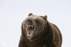 Orso dell'orso grigio che ringhia Immagine Stock Libera da Diritti