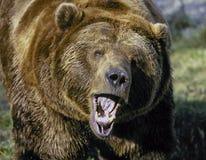Orso dell'orso grigio che ringhia Immagine Stock