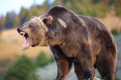 Orso dell'orso grigio che ringhia Fotografia Stock