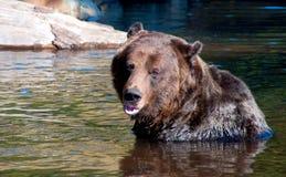 Orso dell'orso grigio che si siede in acqua Fotografia Stock