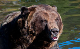 Orso dell'orso grigio che si siede in acqua Fotografia Stock Libera da Diritti