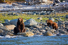Orso dell'orso grigio con i cubi Fotografie Stock Libere da Diritti