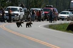 Orso dell'orso grigio (horribilis degli attori del Urus) fotografia stock libera da diritti