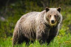 Orso dell'orso grigio (horribilis di arctos del Ursus) Immagini Stock Libere da Diritti