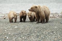 Orso della madre con tre cubs Fotografie Stock Libere da Diritti