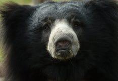 Orso di bradipo Immagine Stock Libera da Diritti