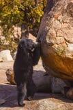 Orso di bradipo, Melursus Ursinus Santuario dell'orso di Daroji, distretto di Ballari, il Karnataka Immagini Stock