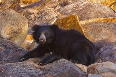 Orso di bradipo, Melursus Ursinus Santuario dell'orso di Daroji, distretto di Ballari, il Karnataka Fotografia Stock