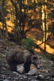 Orso di Brown Fotografie Stock
