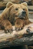 Orso di Brown Fotografia Stock