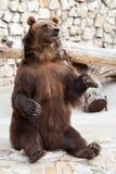Orso di Brown Fotografia Stock Libera da Diritti
