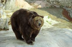 Orso di Brown immagine stock