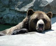 Orso di Brown in acqua Immagini Stock Libere da Diritti