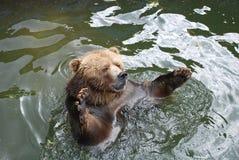 Orso di Brown in acqua Fotografia Stock