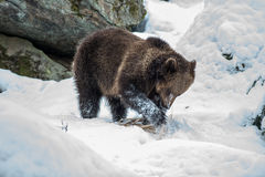 Orso di Brown (arctos del Ursus) Fotografie Stock